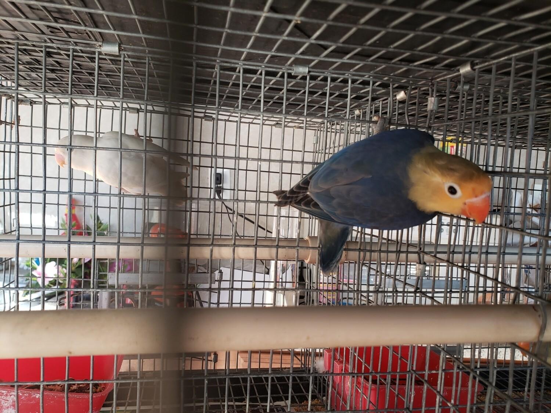 Violet Parblue  fisher female Lovebird ( Cage# 23 )