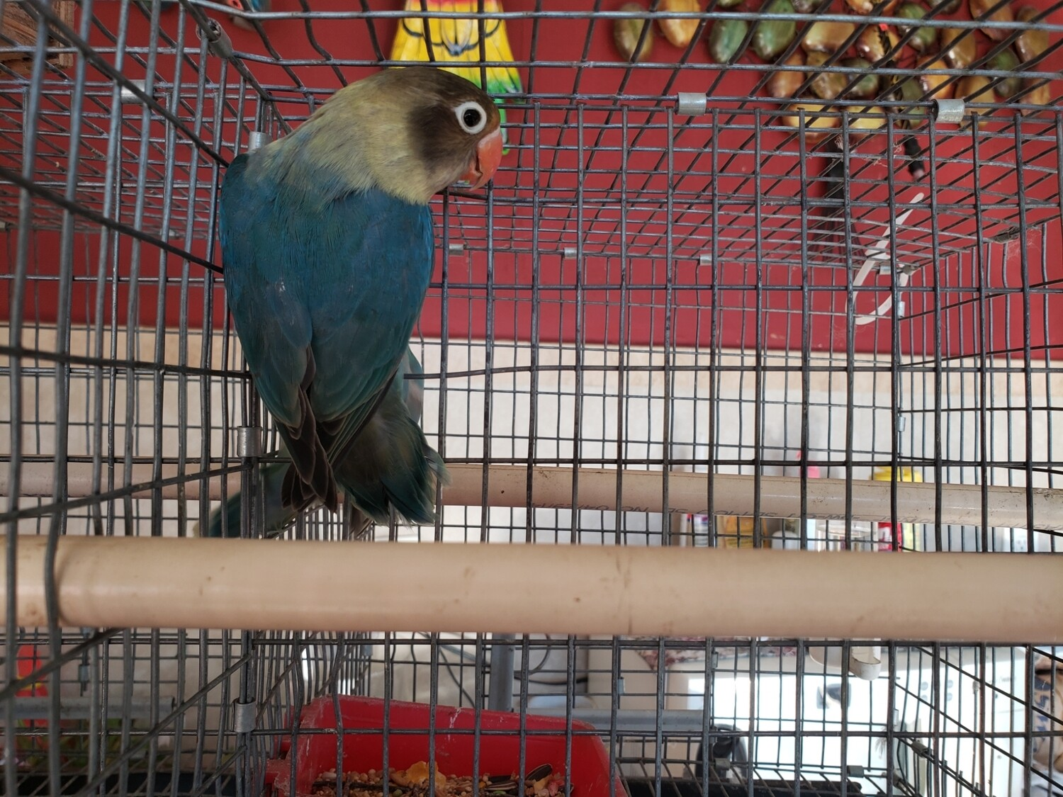 Parblue female fisher Lovebird ( Cage#21 )