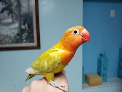 Baby  Pastel Yellow & Orange  Lovebird handfeed Weaned ( Ready To Go )