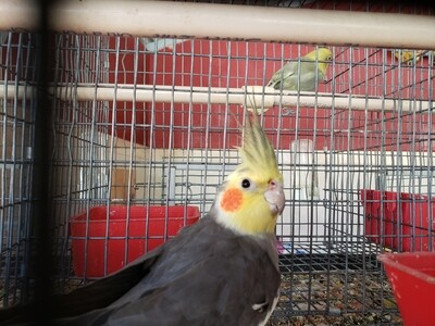 Gray white yellow Arlequin head Male cokatiel ( cage #18 )