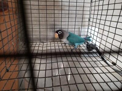 Traditional Blue Black mask Female Lovebird