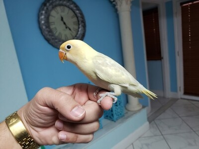 Baby Pastel Yellow Head ( Weaned ready to go)