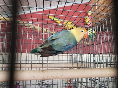 Adult Yellow Face Fisher Female  Lovebird  ( Cage# 19)