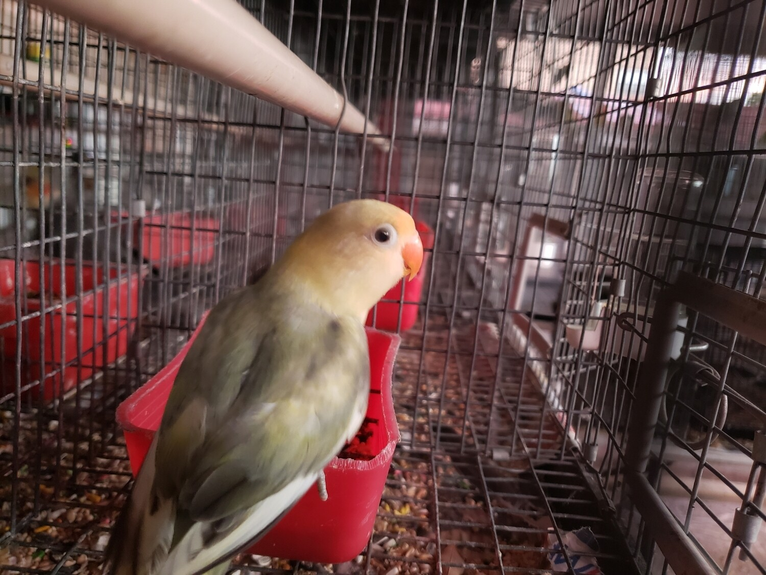 Beautiful parblue Male fisher Lovebird ( Cage#6)
