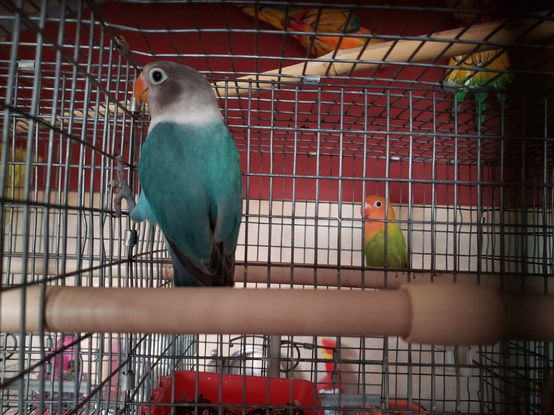 Beautiful Acua fisher male  Lovebird ( Cage#4)