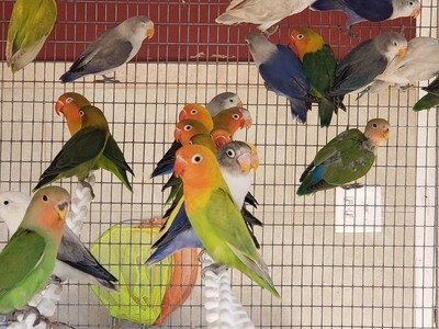 2 Lovebird Special -(  Green & Blue Fishers )