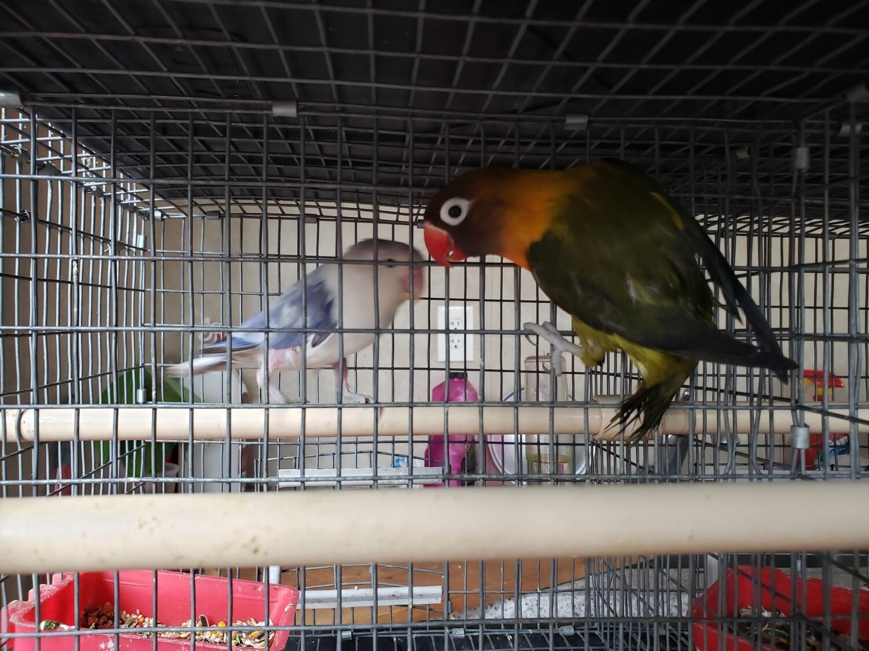 Dark Olive Black face female Lovebird ( cage#23 )