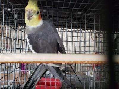Gray Male Cokatiel ( Cage#26 )