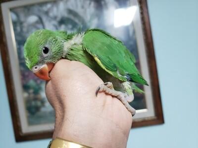 Green Indian Ringneck ( Handfeed ) Pre- Oreder one similar.