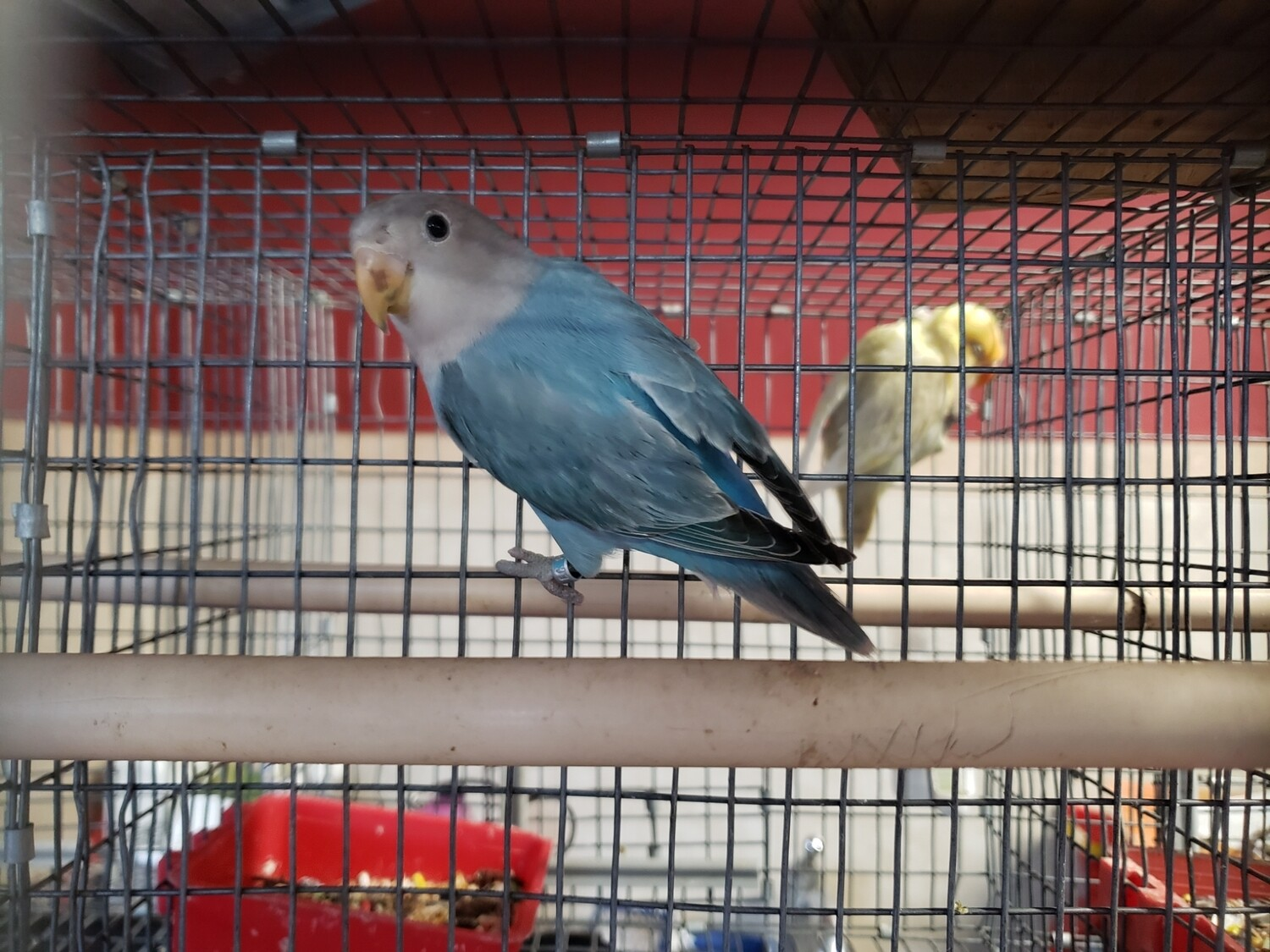 Blue Feach Face  Female Lovebird ( Cage #19 ) DNA Tested