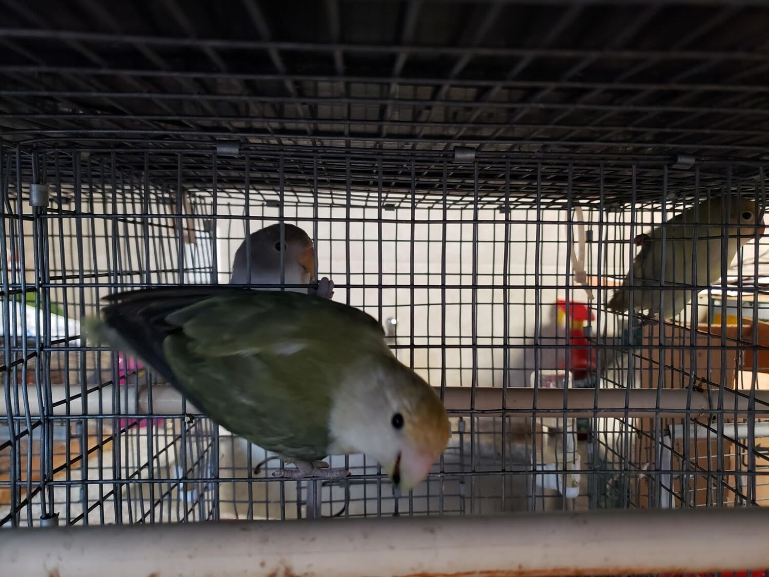 Olive Peach Face Female Lovebird ( Cage#26 ) DNA Tested