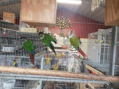 5 Green Cheek Conures