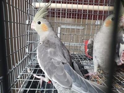 Gray white  Female Cockatiel ( Cage #1 )