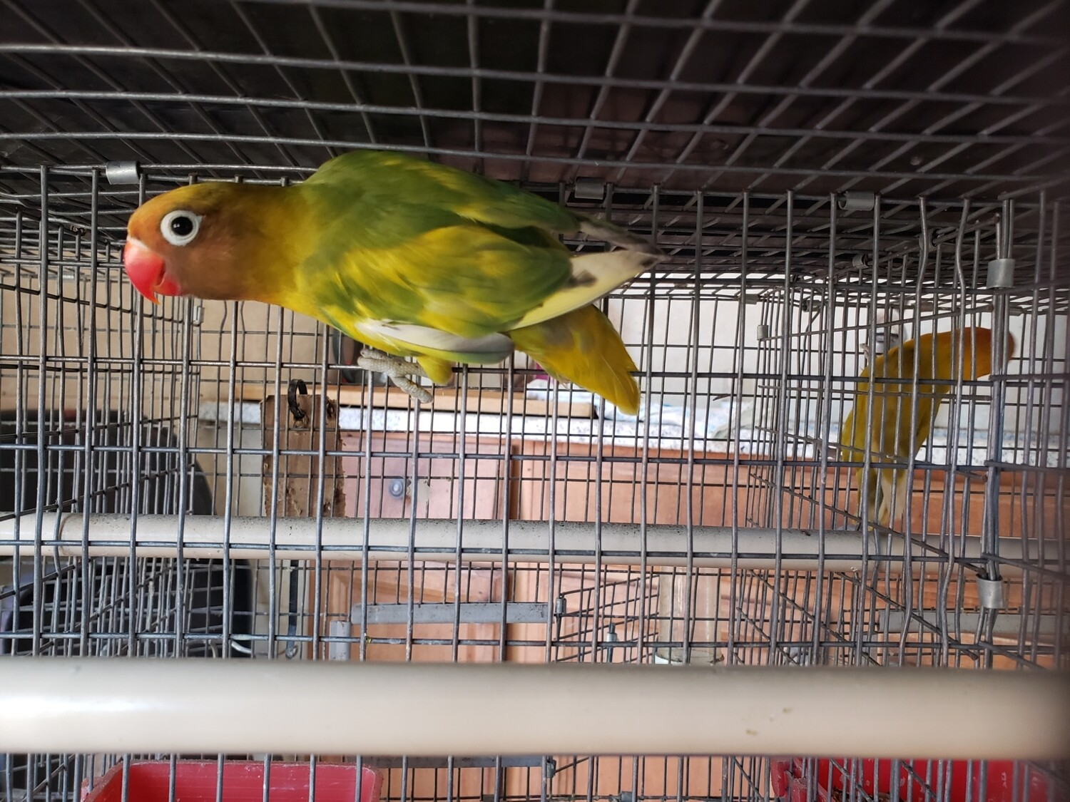 Pastel black Face Red Beack Orange fronthead Fisher male Lovebird ( Cage#0 )