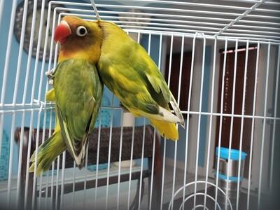 20 Lovebirds 2 cokatiels