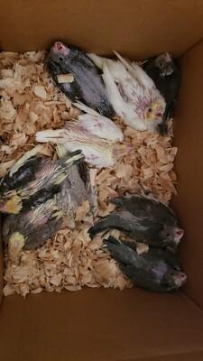 35 lovebirds 10 baby cokatiels