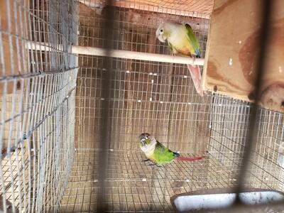 1 Green Cheek Conure Pair