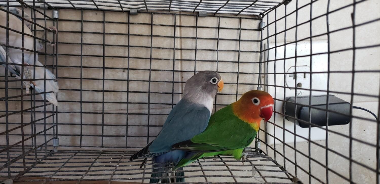 1 green fisher lovebird