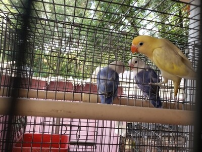 Pastel Clean Yellow Head male Lovebird ( Cage#30)