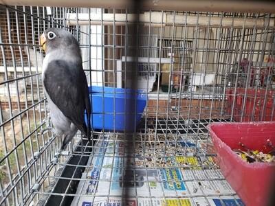 Black Mauve fisher male  lovebird ( cage #6 )