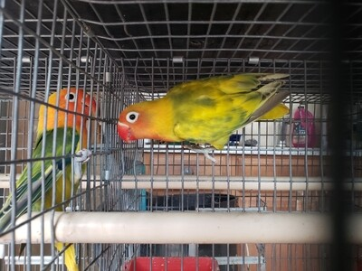 Green Arlequin Fisher male Lovebird ( Cage #12)