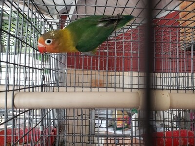 Green Fisher male Lovebird ( cage #4 )