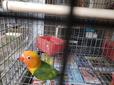 Green Orange Head female fisher Lovebird ( Cage#11)