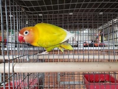 Orange head Pastel Fisher  female Lovebird ( Cage#15)