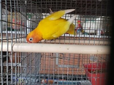 Yellow Black eye Female Lovebird ( Cage #14 )
