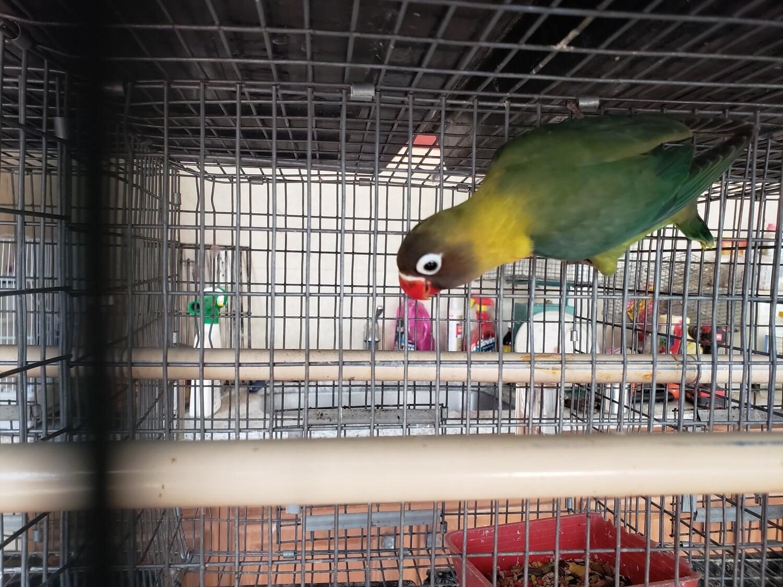 Green Ficher Female  Lovebird  (cage#8)