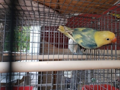 Green Clean yellow Head Arlequin male Lovebird (Cage#17)