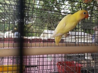 Creamino Black eye male ( Cage #1 )
