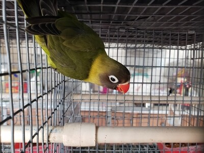 Dark Olive Black face female Lovebird ( cage# 11)