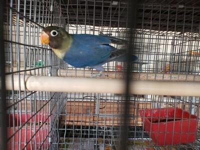 Violet Parblue mask  male  Lovebird ( Cage#9)