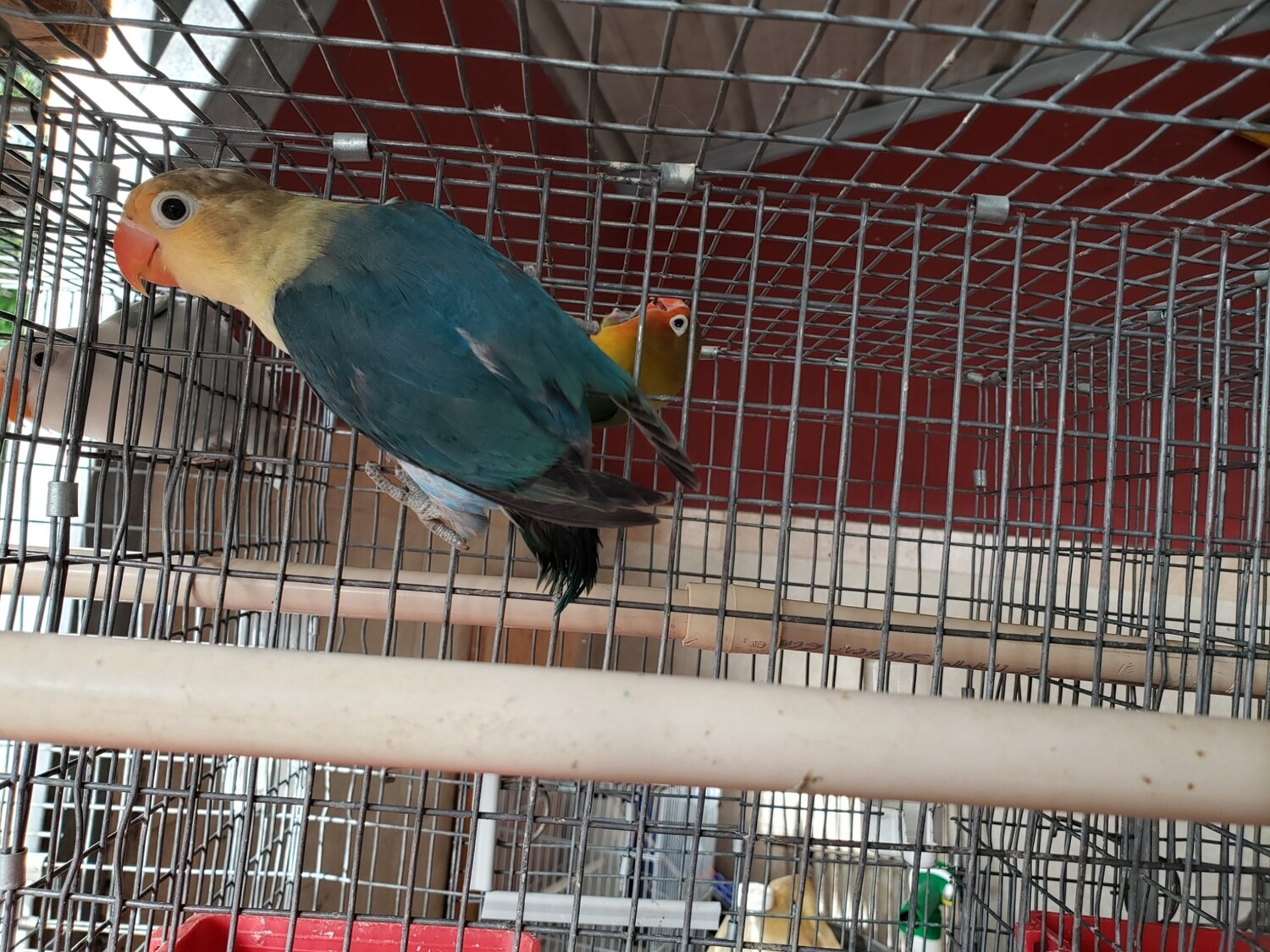Traditional Parblue  Female Fisher Lovebird ( Cage#18)
