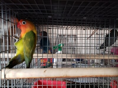 Green Male Fisher Lovebird ( Cage#26)