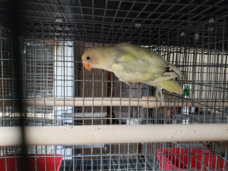 Pied Pastel  female Lovebird ( Cage#23 )