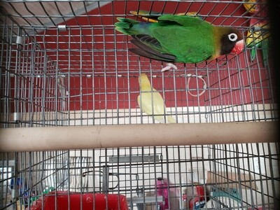 Black Cheeked Green Female Lovebird ( Cage #21 ) Rare Specie