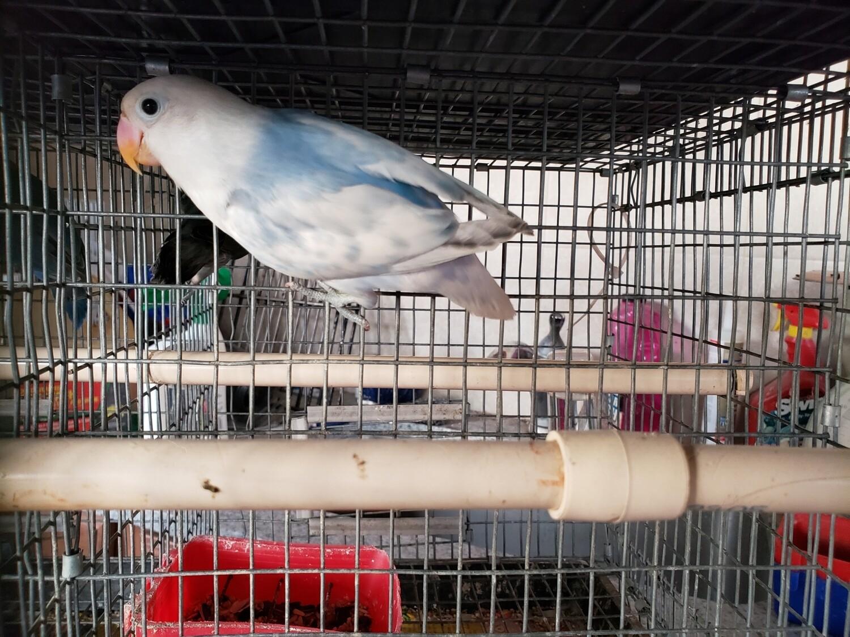 Blue Arlequin female Fisher Lovebird ( cage #300 )