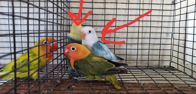 3 lovebird special