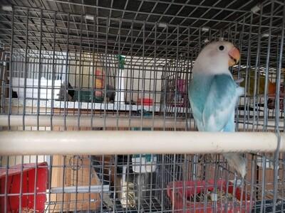 Light Aqua Arlequin Male fisher lovebird ( cage#11 )