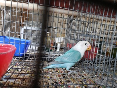Aqua Blue Male Fisher Lovebird ( Cage#6)