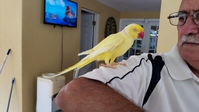 Yellow Lutino Male Indian Ringneck Friendly ( Ready To Go )