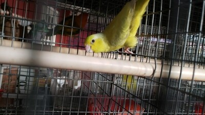 Yellow Parrotlet Female