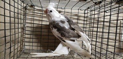 White face Gray and white Cockatiel