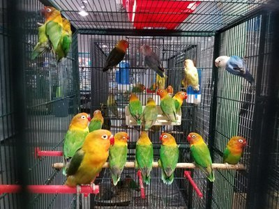 40 adult lovebirds mix colors ( 30 days processing time )