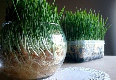 Soilless Grass Grow Kit