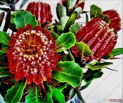 Albany Banksias