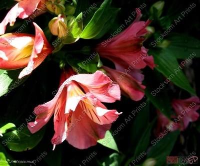 Pervian Lily