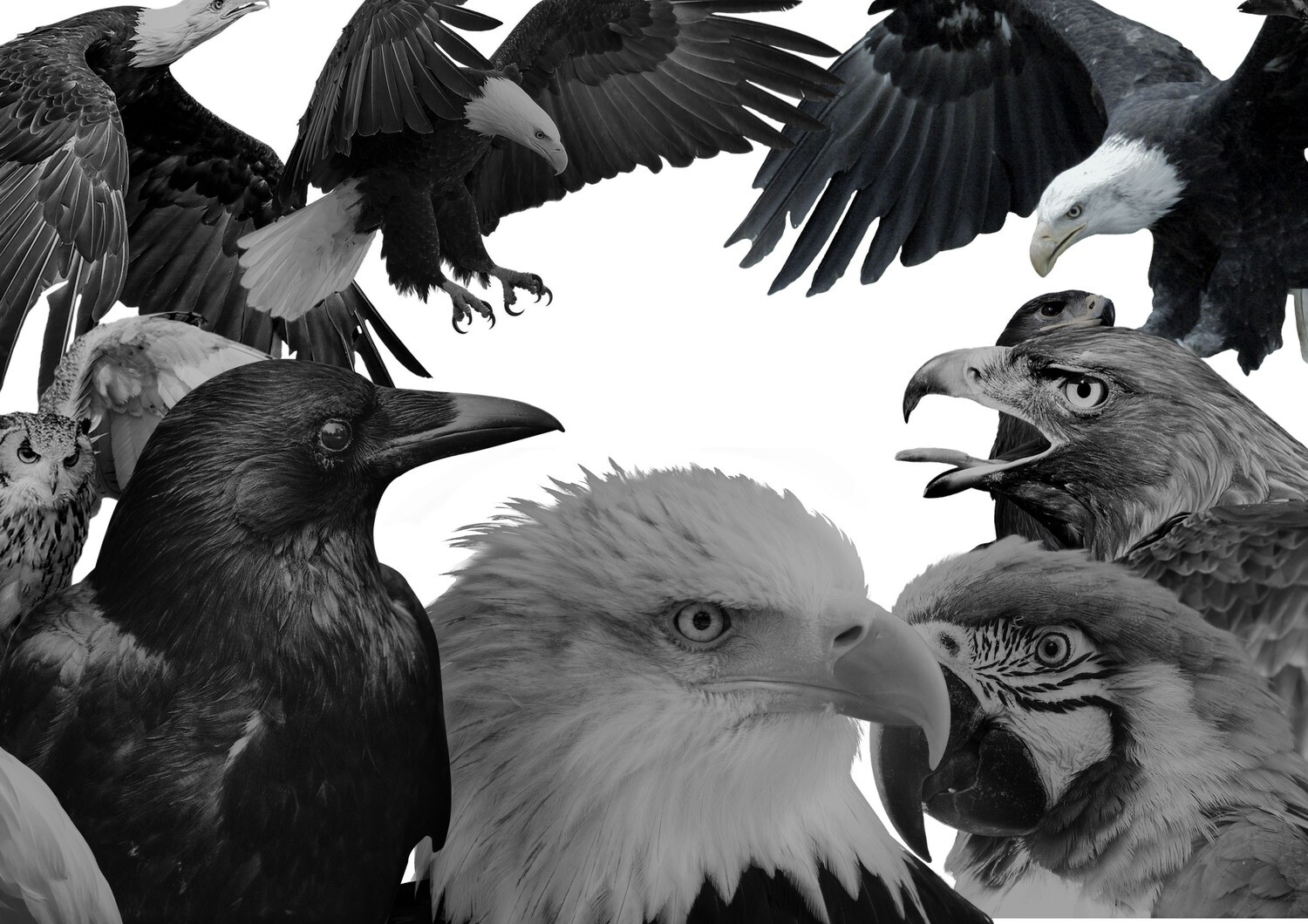 Digital black and grey bird pack 50+images